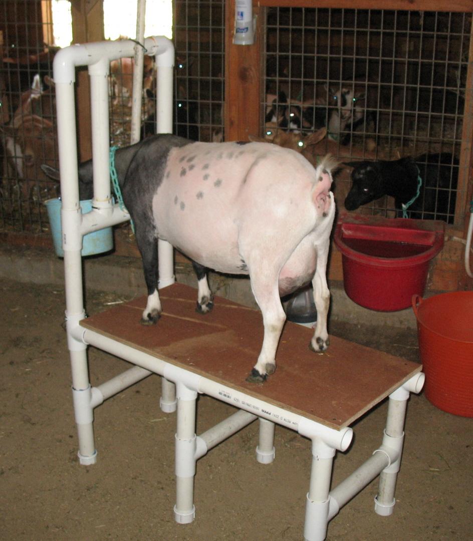 PVC Goat Milking Stand - PetDIYs.com